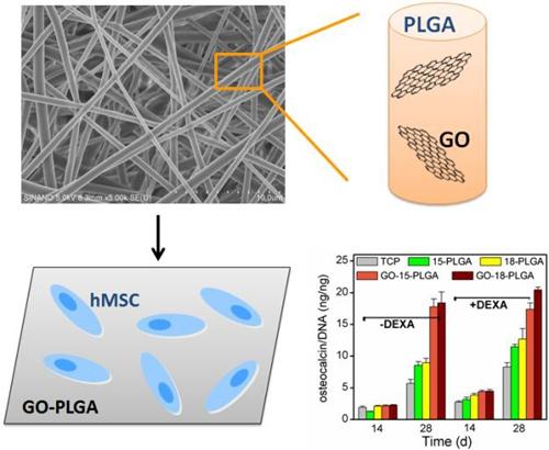 科学家揭示氧化石墨烯纤维支架调控干细胞成骨分化的机制