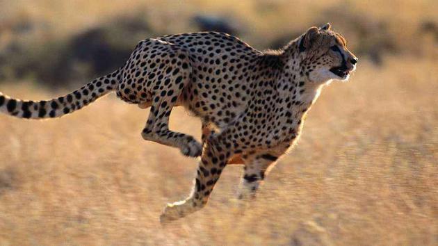 奔跑中的猎豹